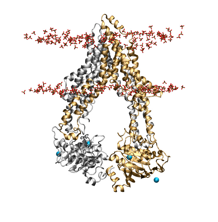 Membrane-embedded P-glycoprotein, solvated.<br>central P-gp structure from 300 ns of simulations (combined trajectories).<br><br>Click to toggle size.