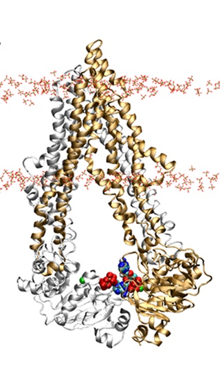 Membrane-embedded P-gp with ATP bound, inward-facing conformation, Run A.<br>P-gp with Mg2+ and ATP in a POPC+cholesterol membrane, cluster analysis, solvent removed.<br><br>Click to toggle size.